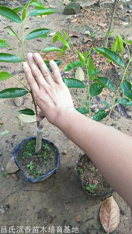 張勺子奇楠樹