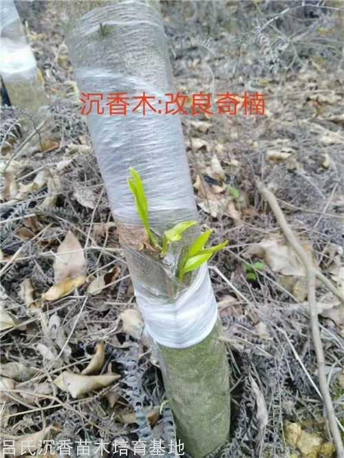 白金砖彩票网改良奇楠品种