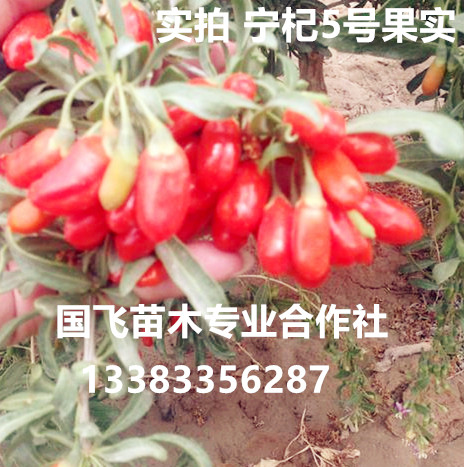 秦皇岛宁杞5号枸杞扦插苗木、产量高