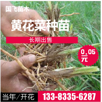 秦皇岛黄花菜种苗-忘忧草