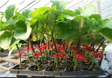 茄子嫁接苗种苗