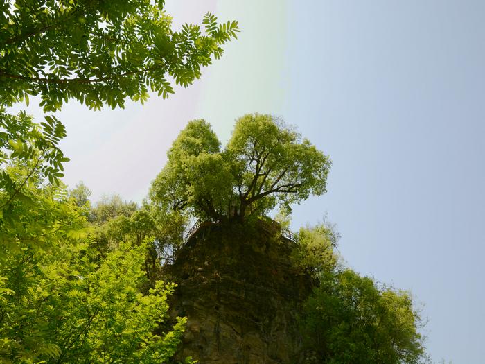 千年铁甲木